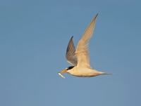 Little tern with Sand eel.