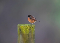 Male Stonechat.