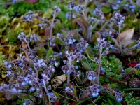 Early forget-me-not.