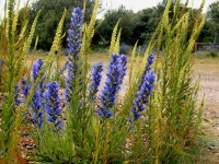 Vipers bugloss and weld.